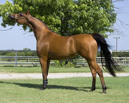 Arab Horses